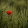 Poppy post