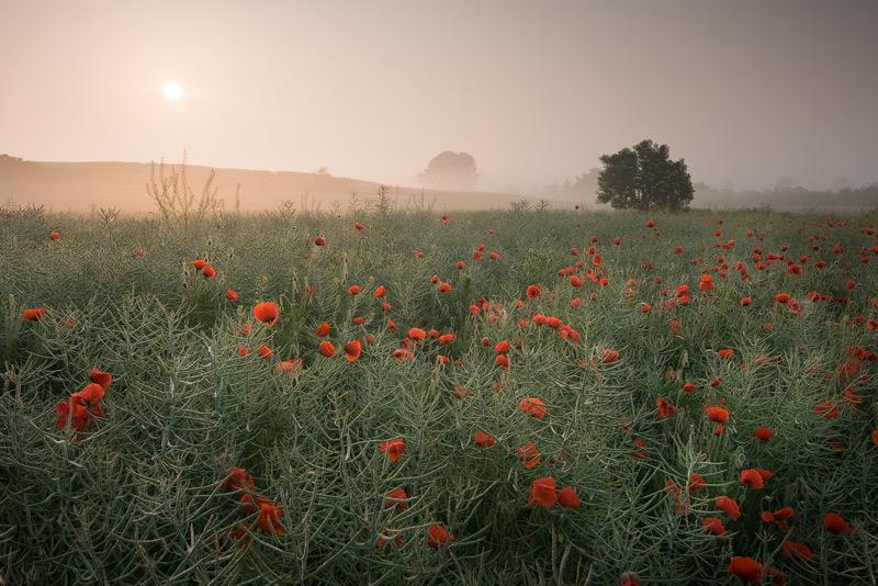 Again…poppies