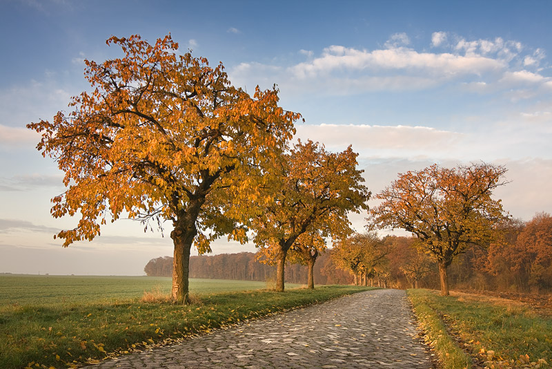 road with cobblestones and cherry trees with golden leaves