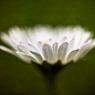 princess daisy flower macro feldauge spring