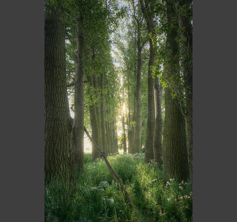 Cathedral trees cottonwood domnitz sunset green feldauge saalekreis