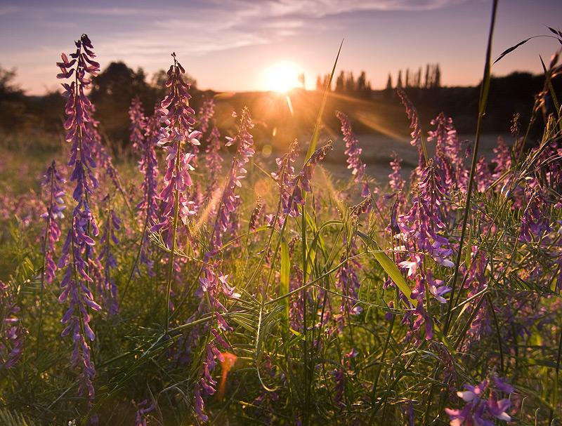 sunset seeben flowers golden feldauge ND-grad