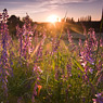 sunset seeben flowers golden feldauge ND-grad