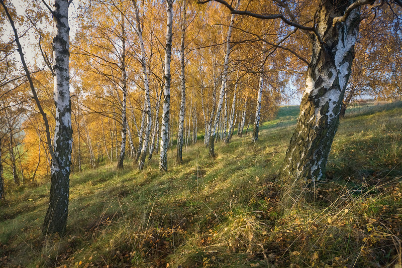 birch autumn inclination räthern feldauge saalekreis