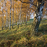 birch autumn inclination räthern feldauge saalekreis