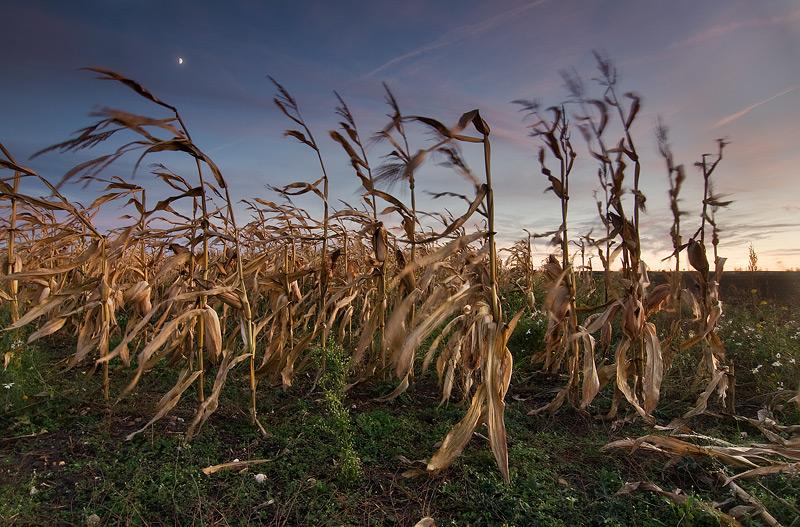 mais corn field rural feldauge dawn moon dalena