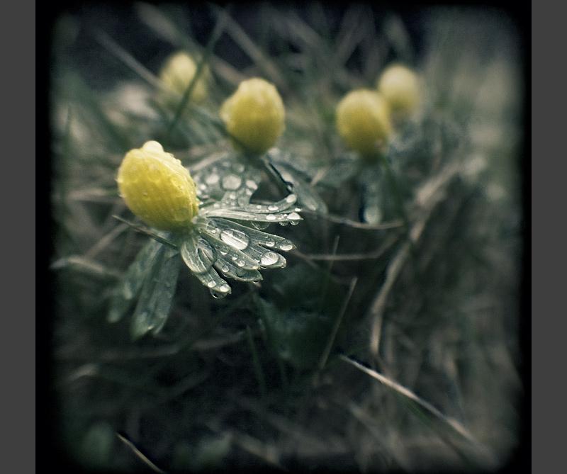 winterling spring ttv kodak_duaflex feldauge