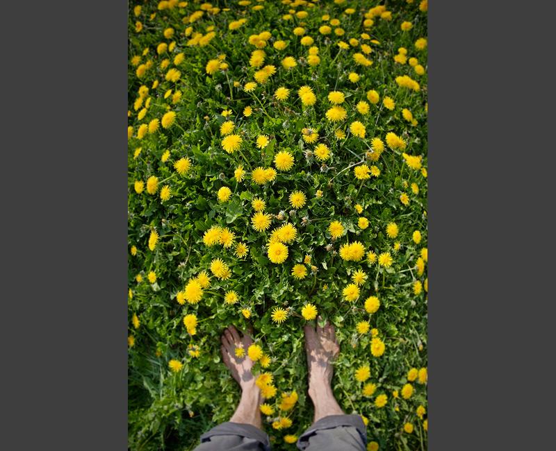 taraxacum loewenzahn spring meadow bare foot feldauge