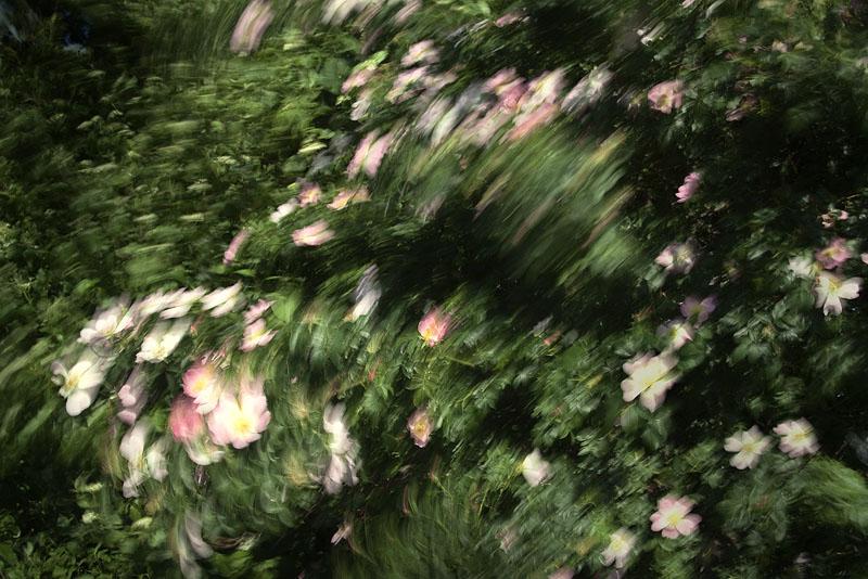 dancing rose wind blurr feldauge