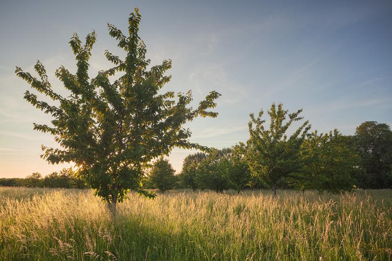 Kirschen Sonnenuntergang Gegenlicht Wiese Dalena Feldauge