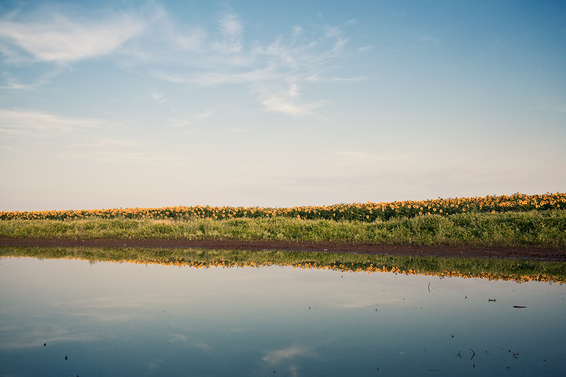 mirror sunflower field sky puddle water feldauge seeben