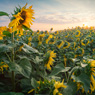 sunflowers morning tornau feldauge