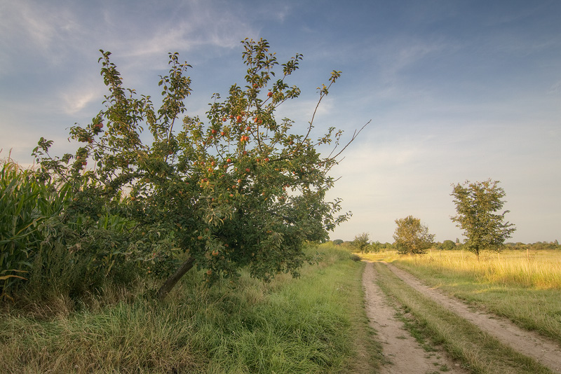 ordinary apple tree feldauge domnitz saalekreis