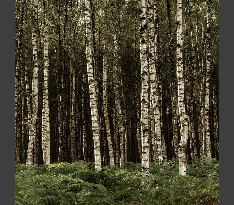 birch trees square feldauge colbitz letzinger heide