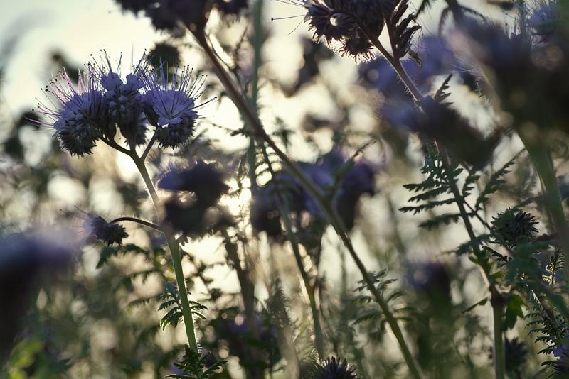 phacelia blue feldauge
